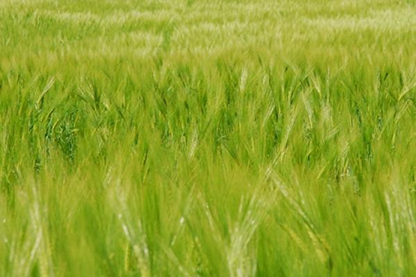 barley-sloveniaF301F8F6-A441-0DF0-05CF-F3A4BE145D69.jpg